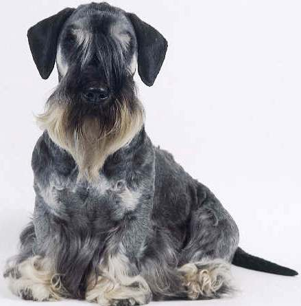 Cesky Terrier profile on dog encyclopedia
