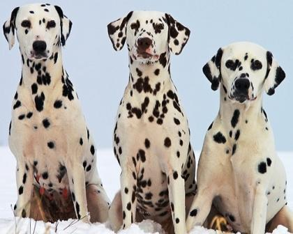 Dalmatian profile on dog encyclopedia