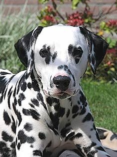 Dalmatian dog on dog encyclopedia