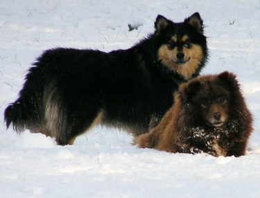 Finnish Lapphund dog featured in dog encyclopedia