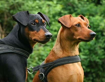 German Pinscher dog featured in dog encyclopedia