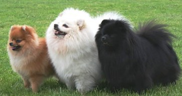 German Spitz dog featured in dog encyclopedia
