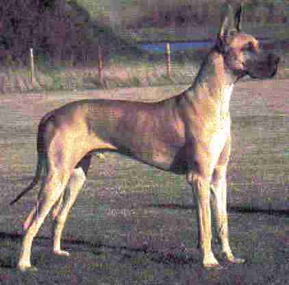 Great Dane dog featured in dog encyclopedia