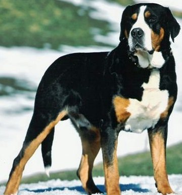 greater swiss mountain dog breed. Black Bedroom Furniture Sets. Home Design Ideas