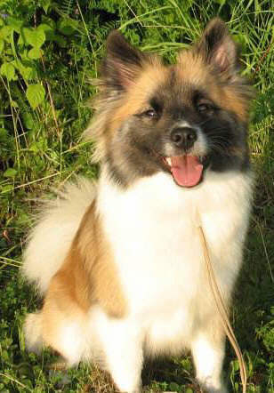 Icelandic Sheepdog profile in dog encyclopedia