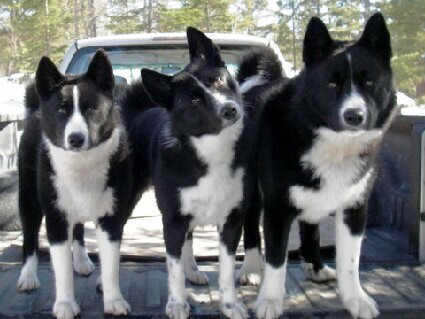 Karelian Bear Dog profile on dog encylopedia
