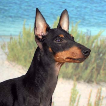 Manchester Terrier profile on dog encyclopedia