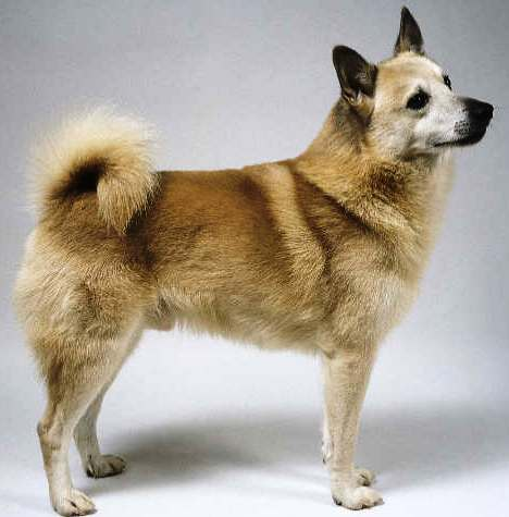 Norwegian Buhund Dog Breed