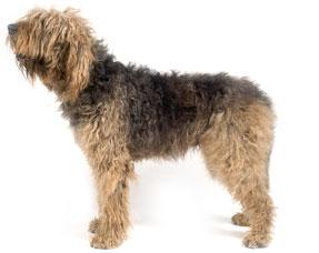 Otterhound profile on dog encyclopedia Otterhound Exercise