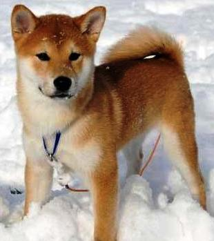 Shiba Inu dog featured in dog encyclopedia