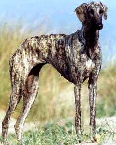 Sloughi dog featured in dog encyclopedia