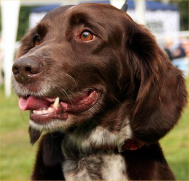 Small Munsterlander pointer dog featured in dog encyclopedia