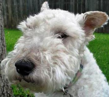 Wire Fox Terrier dog featured in dog encyclopedia