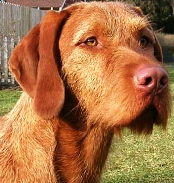 Wirehaired Vizsla dog featured in dog encyclopedia