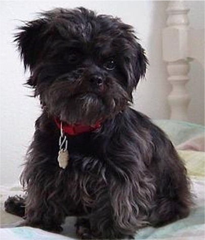 Affenpinscher dog- black