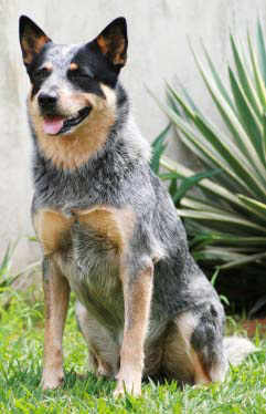 Australian Cattle dog on Dog Encyclopedia