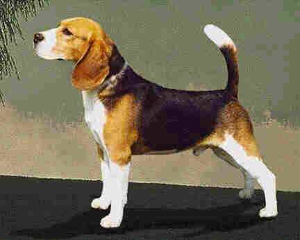 the great american beagle