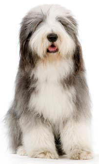 bearded collie profile on Dog Encyclopedia