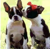 boston terriers in love