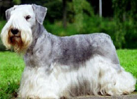 Cesky Terrier dog featured in dog encyclopedia