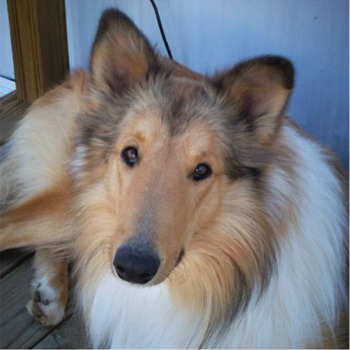 Collie profile on dog encyclopedia