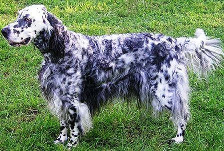 English setter dog featured in dog encyclopedia