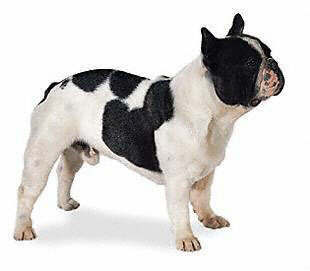 french bulldogs are a favorite dog breed