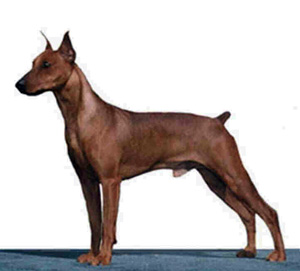 German Pinscher profile on dog encyclopedia