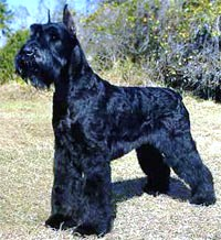 Giant Schnauzer dog featured in dog encyclopedia