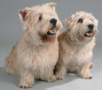 Glen of Imaal Terrier dog featured in dog encyclopedia