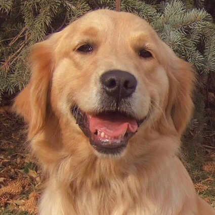Golden Retriever Dog Breed