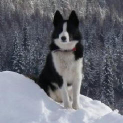 Karelian Bear Dog featured in dog encyclopedia