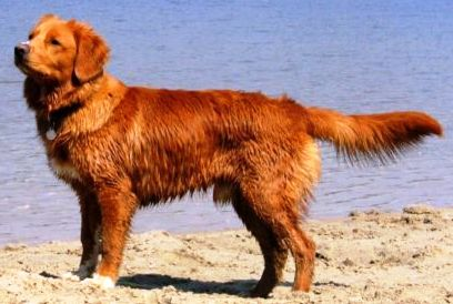 Nova Scotia Duck Tolling Retriever profile on dog encyclopedia