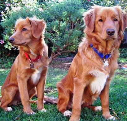 Nova Scotia Duck Tolling Retriever dog featured in dog encyclopedia