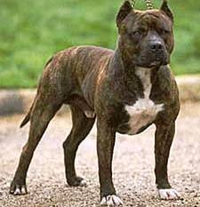 Staffordshire Bull Terrier dog featured in dog encyclopedia