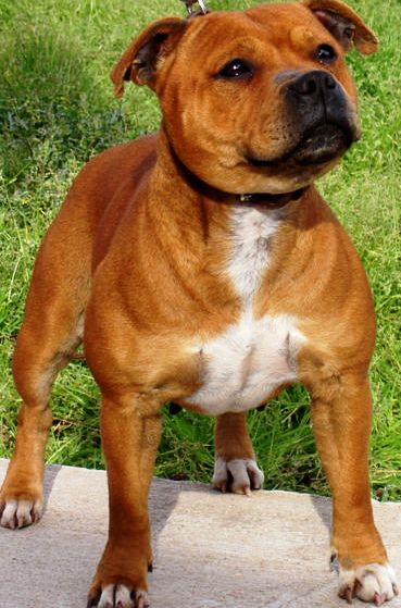 Staffordshire Bull Terrier profile on dog encyclopedia