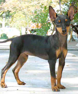 Manchester Terrier dog featured in dog encyclopedia