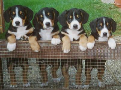 entlebucher mountain dog breed. Black Bedroom Furniture Sets. Home Design Ideas