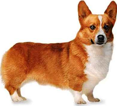 Pembroke Welsh Corgi dog featured in dog encyclopedia
